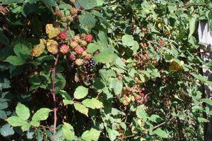 Blackberrying (  Sylvia Plath )