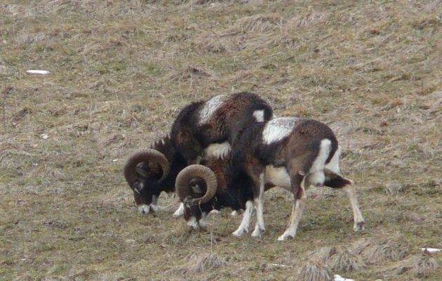 Le Mouflon de Corse (Ovis ammon)