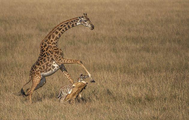 Moment dramatique, la girafe mère tente en vain de défendre son veau d'un jour contre une lionne (photos)