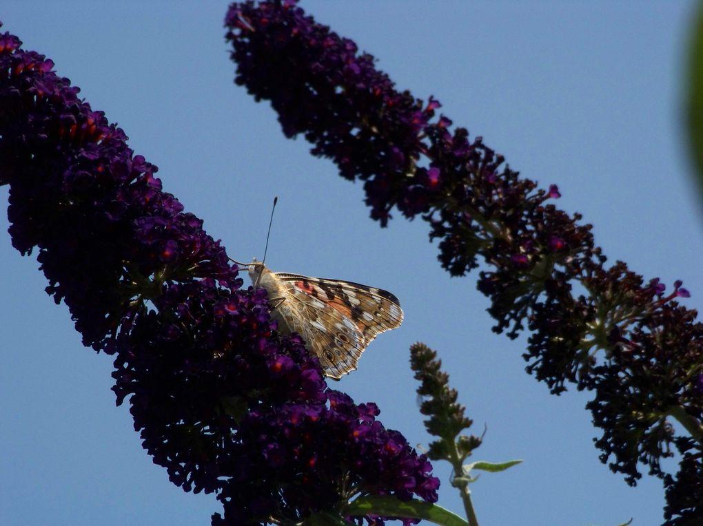 Album - Florilège de papillons