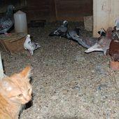 Le repas des pigeons le 21 août - Ichat et compagnie
