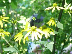 Les plantes d'ombre ou mi ombre du Jardin d'eau, dans l'ordre (acte 1) : 1) monnaie du pape, 2) anémone du Japon, 3) et 4) bégonia Summerwings, 5) rudbeckias, 6) hortensia