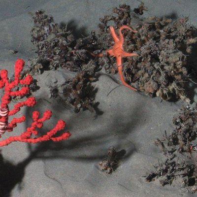 Les canyons sous-marins, des réservoirs de vie menacés.
