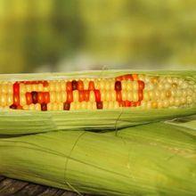 Six idées fausses sur les « dangers » du génie génétique et des OGM