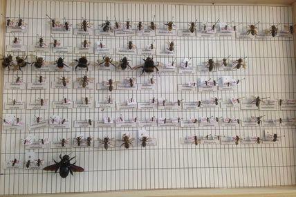 Sauver notre miel mettrait-il en danger la pollinisation ? Abeilles domestiques, pollinisateurs sauvages, la compétition.