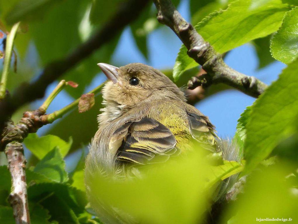Les juvéniles pépient régulièrement lorsqu'ils quémandent et c'est ainsi que je parviens à les localiser sur une branche d'arbre.