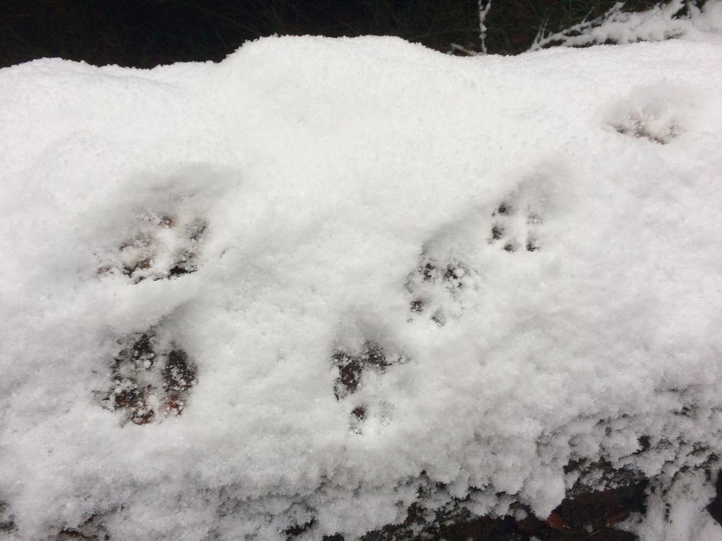 Vraisemblablement les traces d'un gros chat forestier.