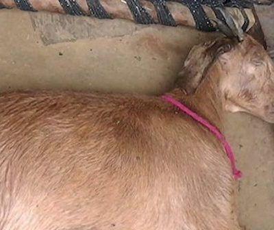 Une chèvre enceinte meurt après avoir été violée par 8 hommes