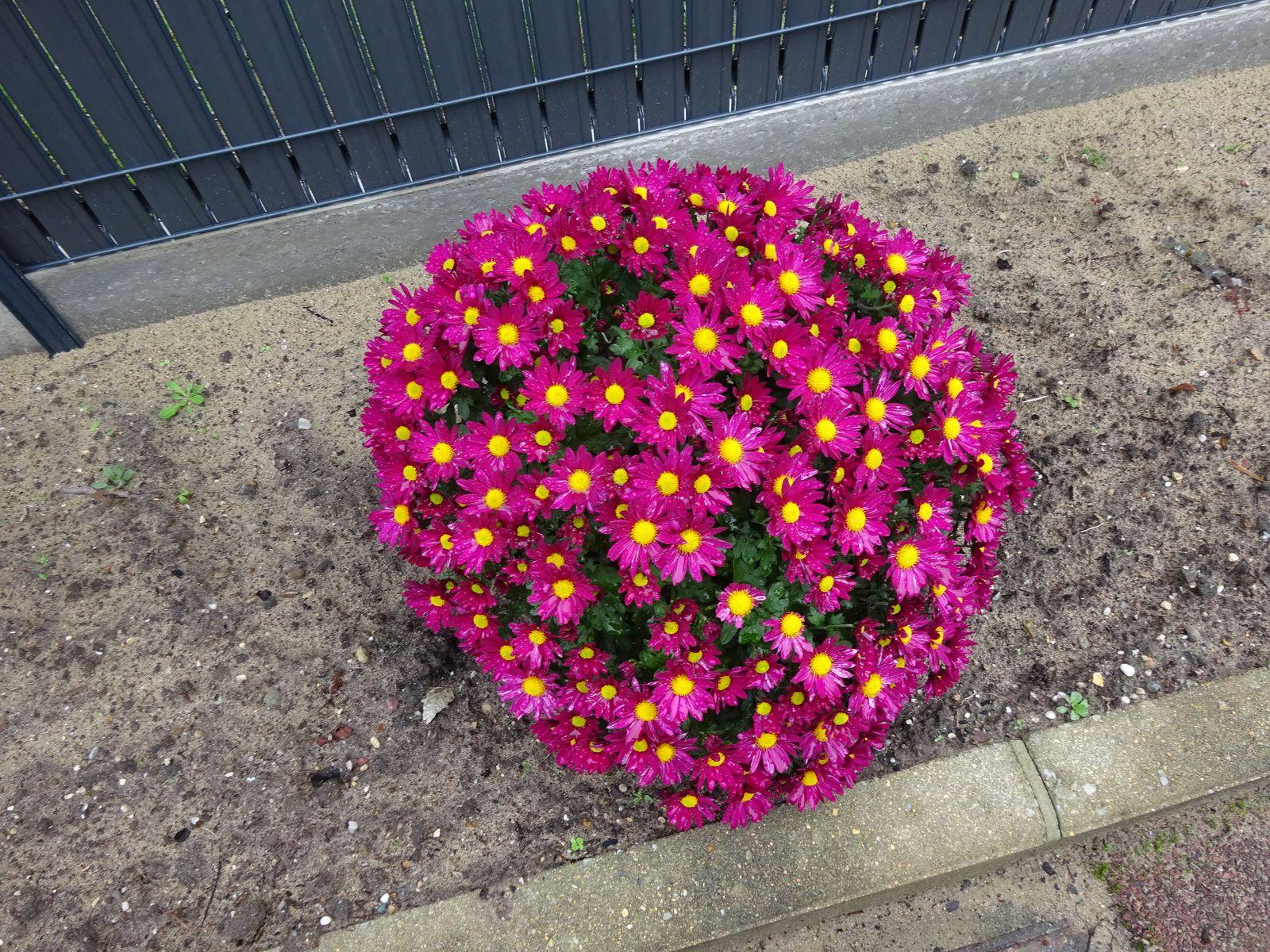 le ciel le matin (superbes couleurs) et les fleurs d'automne dans le jardin