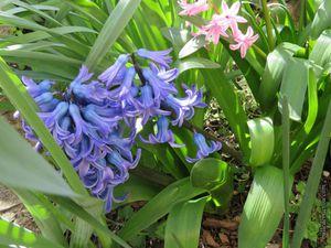 Les jacinthes bleues et roses