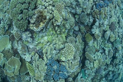 Il y a des blanchiments qui assombrissent l'avenir, celui de l'argent sale, atteint aussi les coraux.