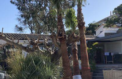 Arrivage de palmiers