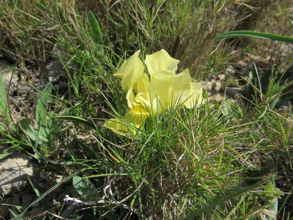 iris de Sicile
