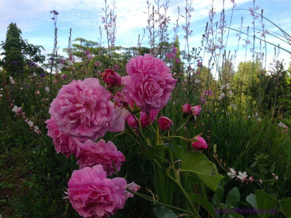 Rose de Damas au Jardin de Frescati - 2 photos
