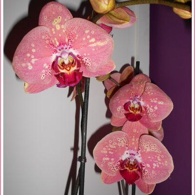 Phalaenopsis n°17