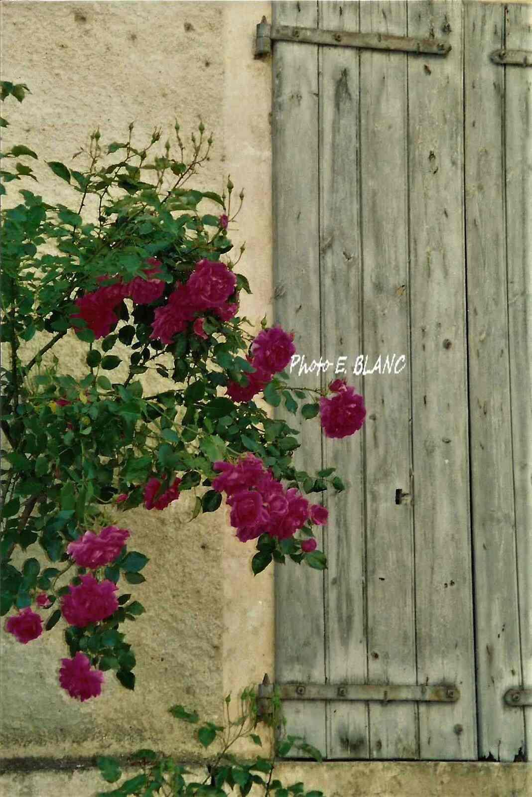 photo d'un rosier