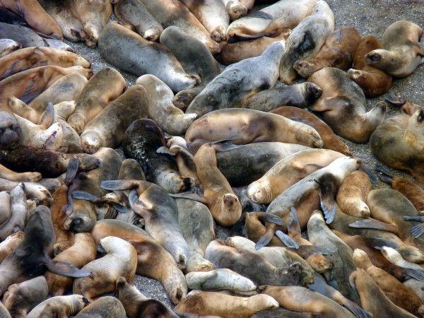 Otarie à Crinière ou Lion Marin (Otaria flavescens)  (Argentine)