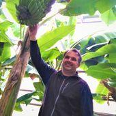 Un Varois se lance dans la production de bananes en métropole