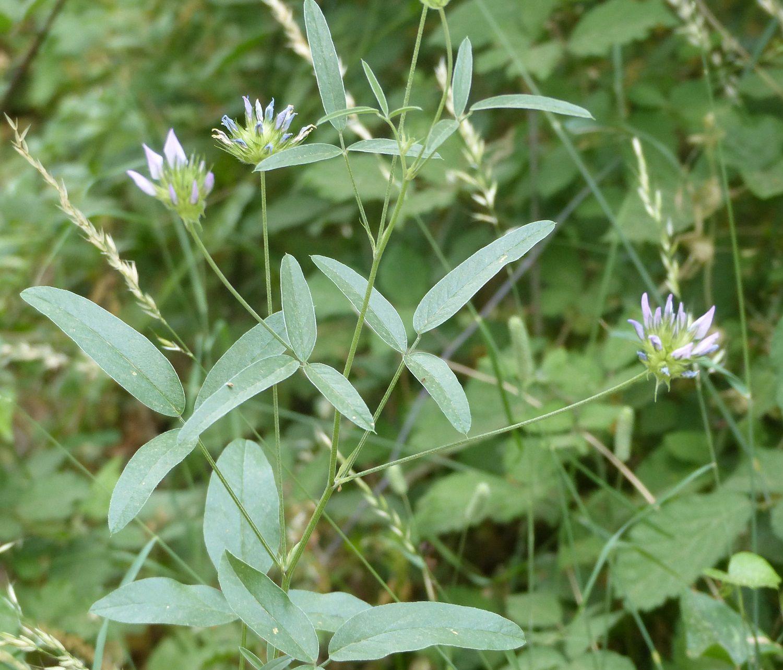• la Psoralée à odeur de bitume (Bituminaria bituminosa) sur pratiquement la moitié sud de la France et qui doit son nom à la forte odeur de bitume dégagée par ses glandes odorantes ;