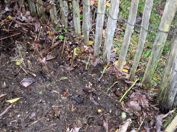 Les boutures préparées sont rangées dans une petit tranchée puis recouvertes de terre tassée et humidifiée juste ce qu'il faut pour qu'elle adhère aux racines. S'il gèle très fort, je les protègerai avec des feuilles mortes ou du carton.