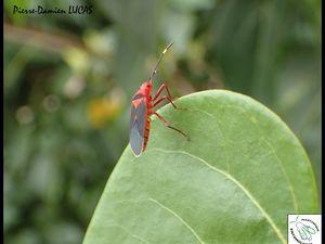 A gauche, un adulte de Dysdercus delauneyi, à droite, un adulte de Dysdercus andreae