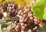 #Pinot Grigio Producers New York Vineyards