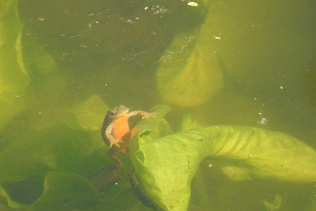 Un triton alpestre remontant à la surface pour prendre un bol d'air