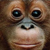 L'arrêt de mort des orangs-outans