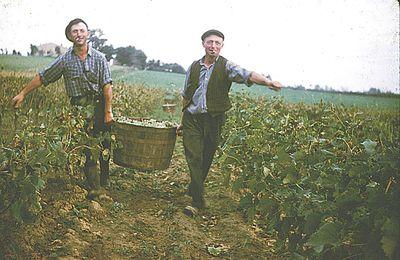 Lauragais d'Autrefois (99) : les vendanges du Lauragais