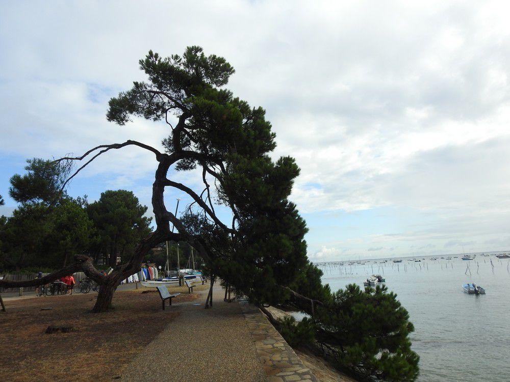 Le dernier des pins parasols de l'Herbe...