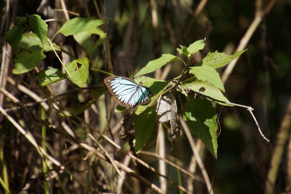 Papillon bleu bordé de brun en Thaïlande