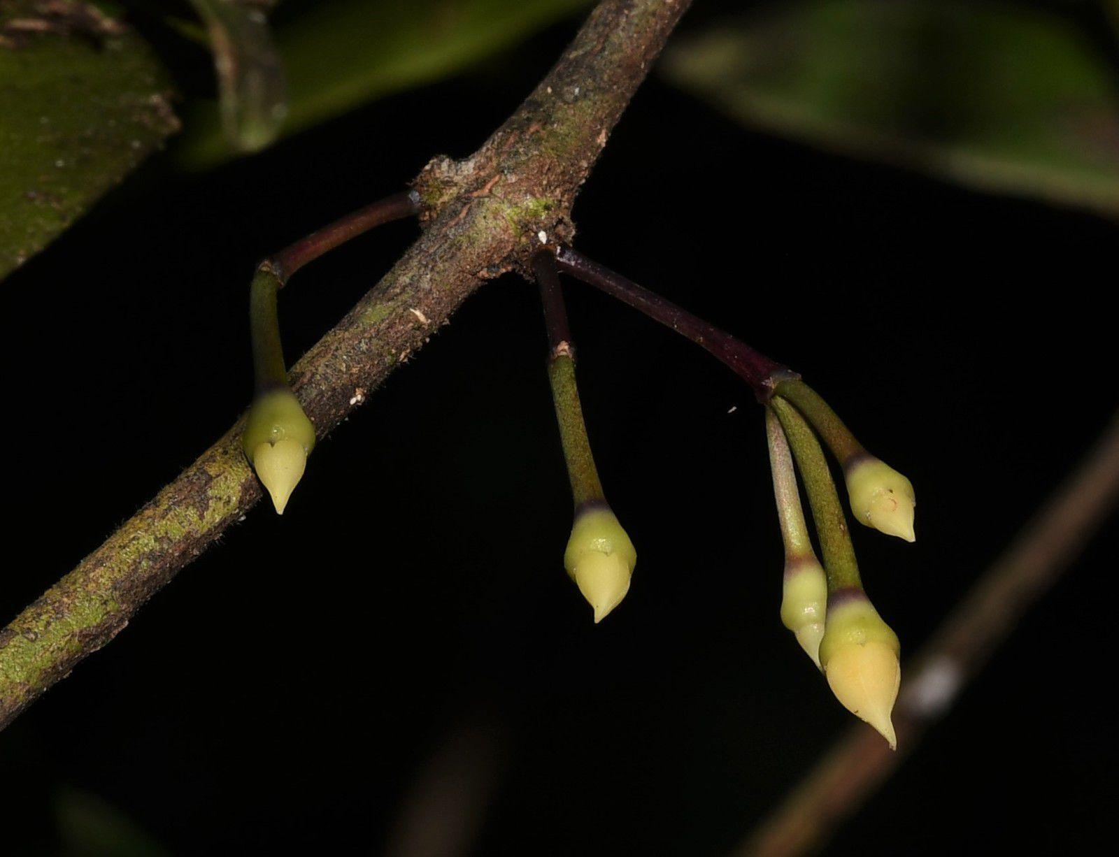 Votomita guianensis