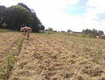 Dernière grande plantation de cette année: les poireaux pour cet hiver! Presque fini... Youpi!