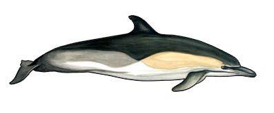 Le déclin du dauphin commun en Mer Méditérranée