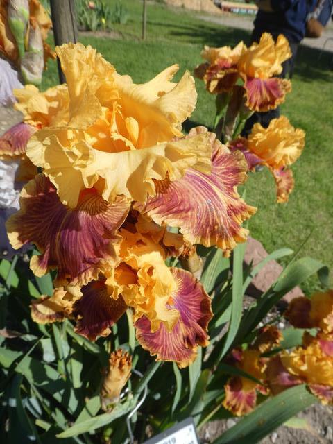 Le doux parfum des iris....