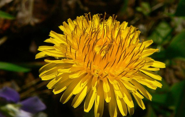 Inspiring videos : How to store and use Dandelions