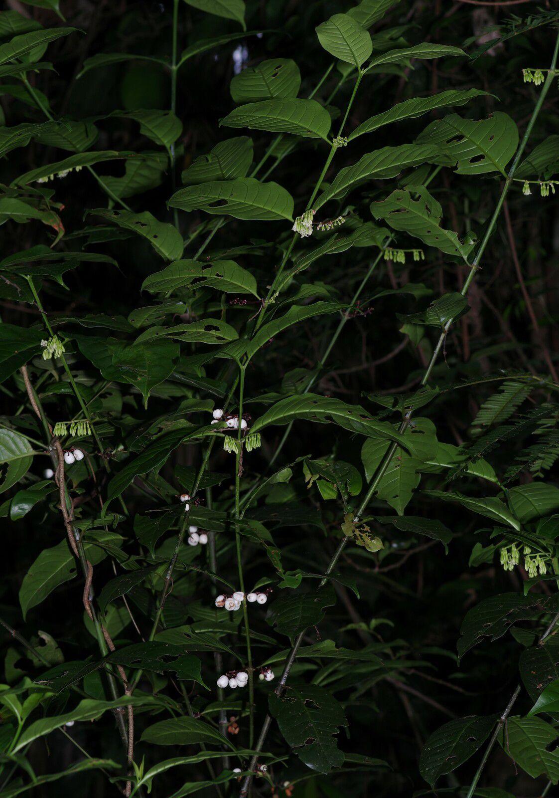 Chiococca nitida var. nitida