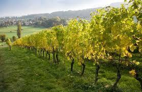 Le Vinhos-verdes et la Vigne