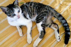 GYPSY - chat mâle - 1 an - annonce retirée