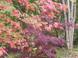 Un sous-bois où les érables sont très présents, avec une variété botanique extraordinairequi abrite une belle collection d'hellébores pour la fin de l'hiver
