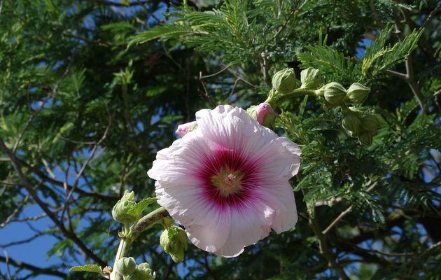 Les roses trémières de Vendée