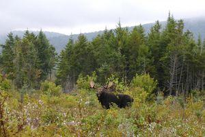 Au Québec, les chasseurs disputent l'orignal au peuple originel
