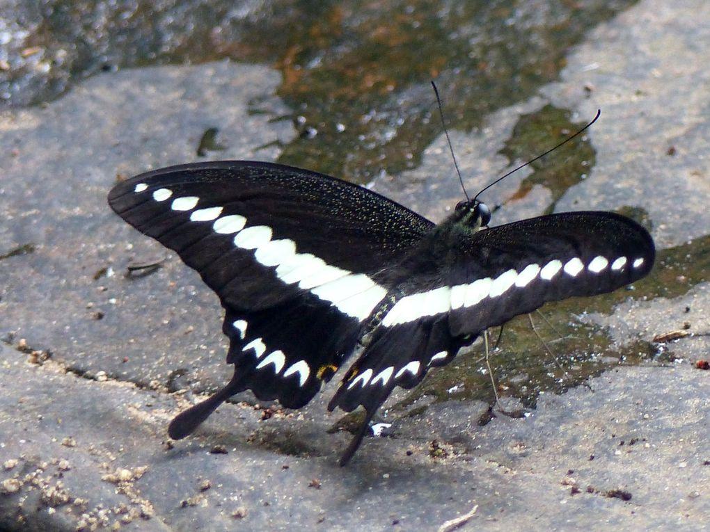Les papillons à Pang Sida (2)
