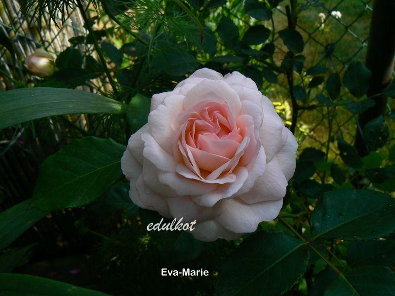 photo Edulcot