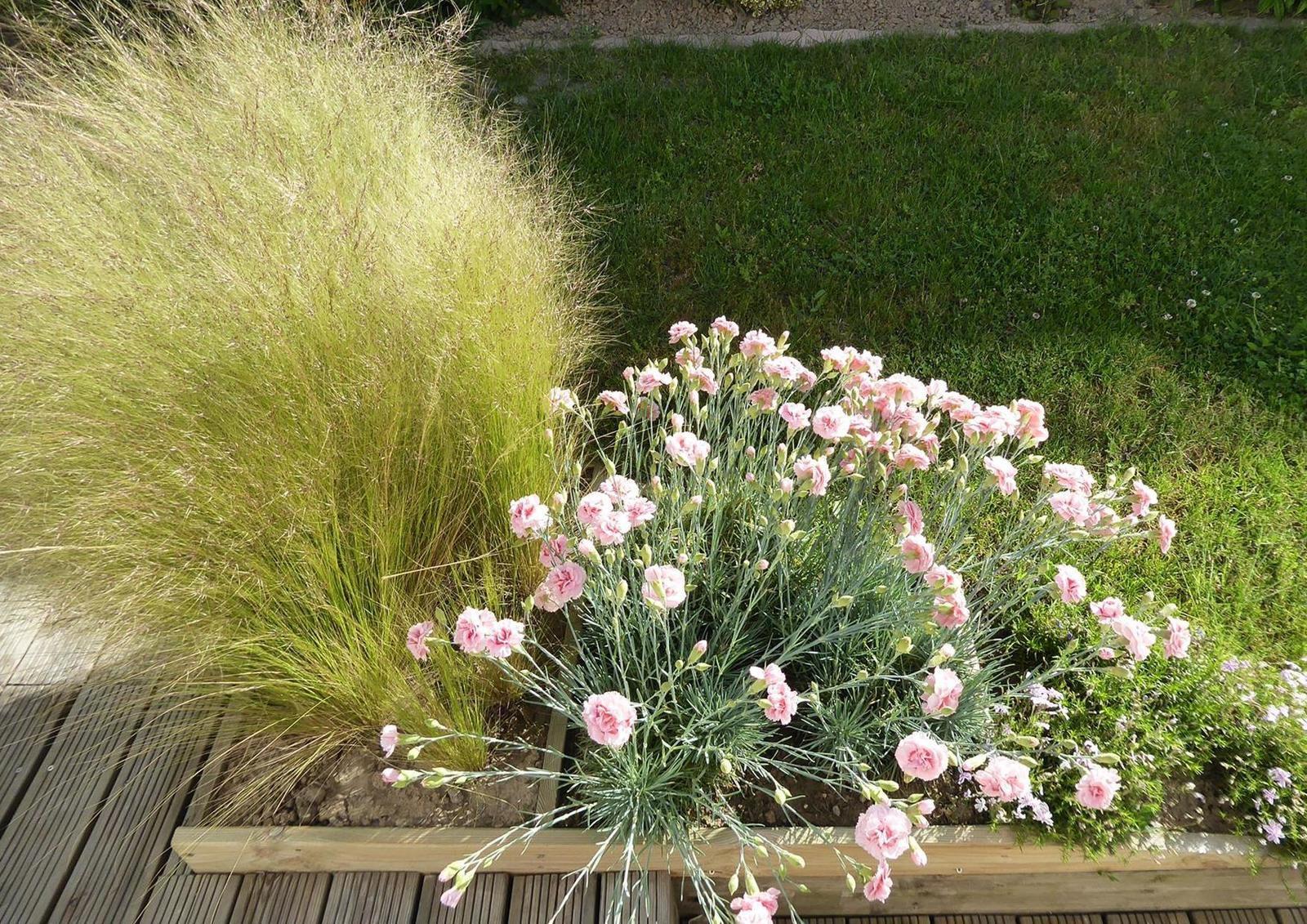 Oeillets dans un jardin sablais
