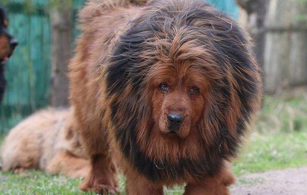 Bullmastiff du tibet