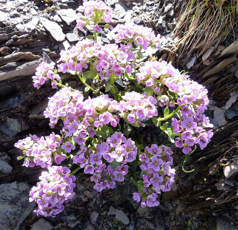 Ces pierriers, c'est le domaine du Tabouret à feuilles rondes à fleurs lilas (Noccaea rotundifolia = Thlaspi) et du Cresson des chamois à fleurs blanches (Hornungia alpina, jadis Hutchinsia alpina, puis Pritzelago …).