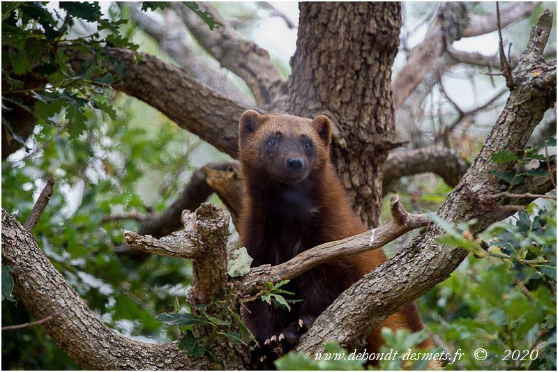 Les griffes semi-rétractiles du glouton lui permettent de grimper facilement aux arbres.
