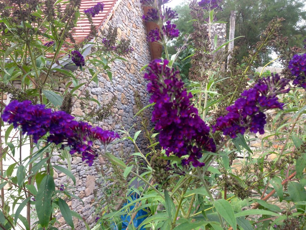 Buddleia 'Black night' (2 photos)