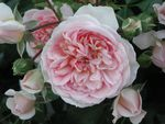 """Incontournable ROSIERS !... Rosa """"Lovely Meilland"""""""